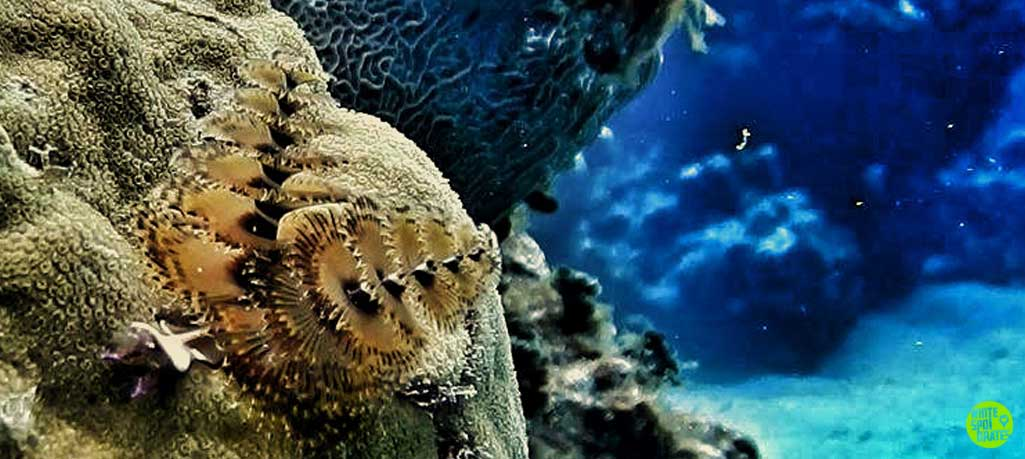 screenshot of christmas tree worms from a cayman video diving eden rock